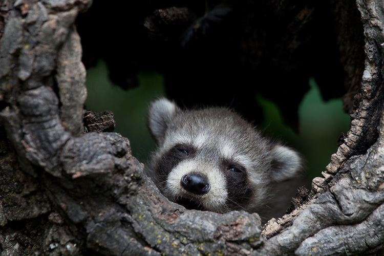 Raccoon Kit (procyon lotor) sleepily watching from a hollow log near Kalispell, Montana, USA - Captive Animal