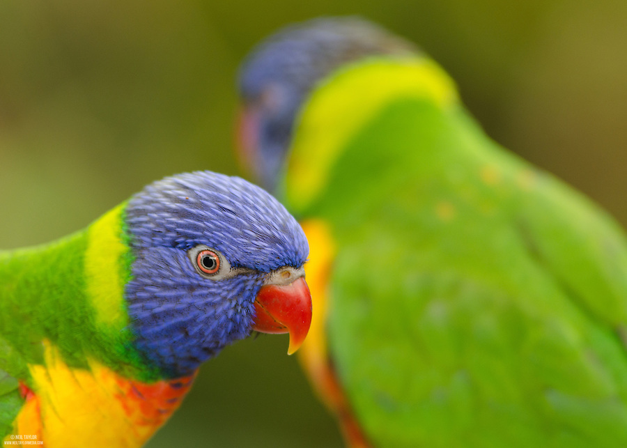Captive Rainbow/Swainson's Lorikeet {Trichoglossus haematodus moluccanus} at the Tropical Butterfly House Sheffield