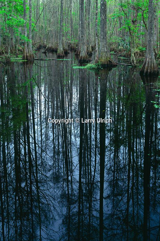 Bald cypress<br /> Cypress Swamp Trail<br /> Highlands Hammock State Park<br /> Highlands County,  Florida