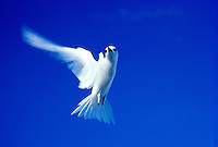 Fairy or white tern, Manu-o-ku in flight against blue sky, Hawaii