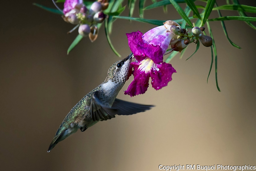 Female Black-chinned Hummingbird and Desert Willow Flower