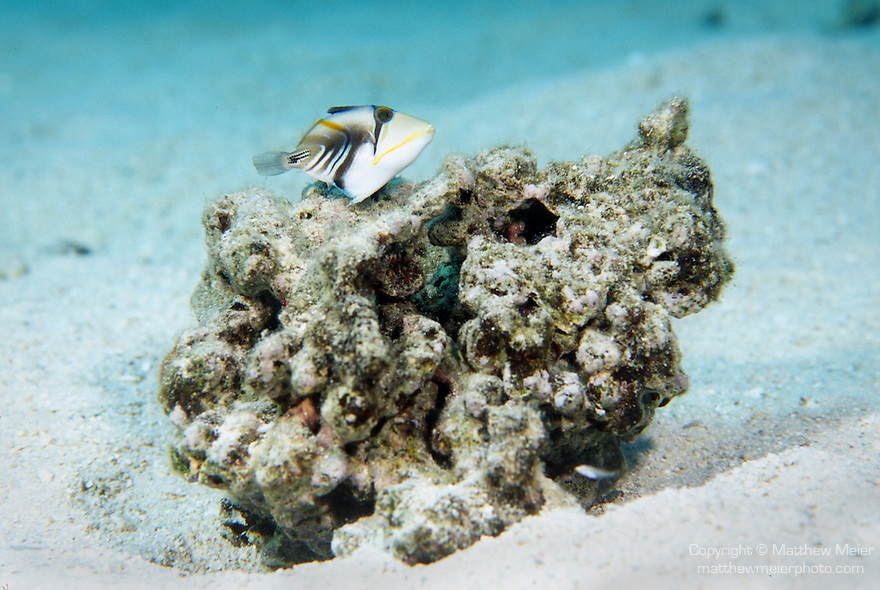 Moorea, French Polynesia; Picasso Triggerfish (Rhinecanthus aculeatus), juvenile, solitary or form groups, found in lagoons and reef flats to 4 meters, in the Indo-Pacific Ocean region, E. Africa to Hawaii and French Polynesia. S. Japan to E. Australia and Lord Howe Island, to 25 cm , Copyright © Matthew Meier, matthewmeierphoto.com All Rights Reserved