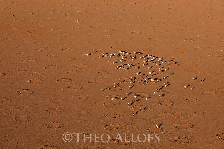 Namibia, Namib Desert, Namibrand Nature Reserve, aerial view of oryx (Oryx gazella) crossing plain covered with fairy circles; fairy circles are believed to be caused by termites