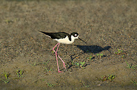 579500030a a wild black-necked stilt himantopus mexicanus along the los angeles river los angeles county california