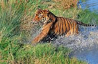 Sumatran tiger, Panthera tigris sumatrae, adult, hunting in water, critically endangered species, Sumatra, Sunda Islands, Indonesia