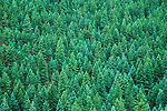 Pine Forest, Pike National Forest, Colorado