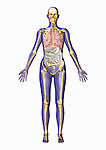Biomedical illustration of human anatomy from the front showing the respiratory, skeletal, and digestive systems