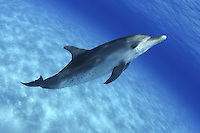 Atlantic Spotted Dolphin, Stenella plagiodon, was photographed over the Bahamas Bank
