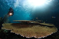 female diver with big table coral in Raja Ampat - West Papua - Indonesia