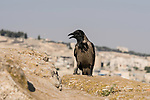 A Hooded Crow, Corvis cornix, on the wall of the Old City of Jerusalem in the Jewish Quarter.  The Old City of Jerusalem and its Walls is a UNESCO World Heritage Site