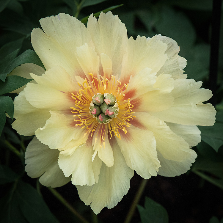 Paeonia 'Garden Treasure',    a primrose yellow Itoh hybrid, named after Toichi Itoh a Japanese nurseryman who in 1948 succeeded in crossing a hybrid tree peony with a herbaceous peony.