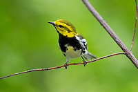 Black-throated Green Warbler (Setophaga virens), male in breeding plumage, a Spring migrant to New York City's Central Park.