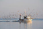 A fishing boat surrounded by sea gulls returning to Rovinj early in the morning, Adriatic, Europe