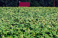 Tobacco crop ready for harvest in southwestern, Virginia. Virginia USA Southside.
