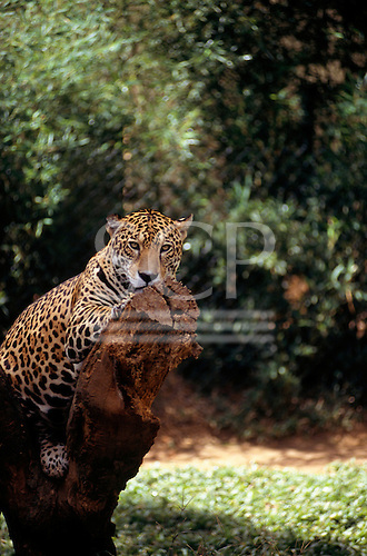 Brazil. Painted Jaguar 'Onca pintada' (Panthera onca) on a broken tree stump.