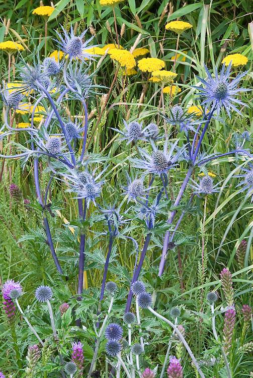 Eryngium Big Blue in flower with Achillea and smaller Eryngium