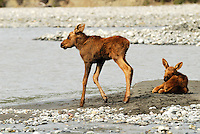 Twin moose calves on a gravel bar in the middle of the Matanuska River wait for the return of their mother. Image taken about 20 miles north of the confluence with the Chickaloon River.
