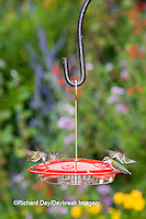 01162-12419 Ruby-throated Hummingbirds (Archilochus colubris) at feeder by flower garden, Marion Co.  IL