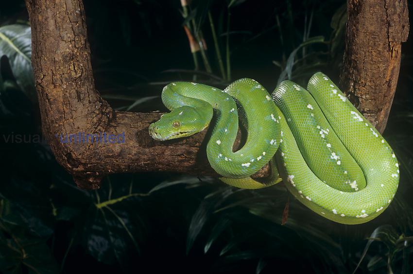 Adult Green Tree Python (Chondropython viridis), New Guinea.
