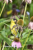 01640-16304 American Goldfinch (Spinus tristis) male eating Purple Coneflower seeds., Marion Co., IL