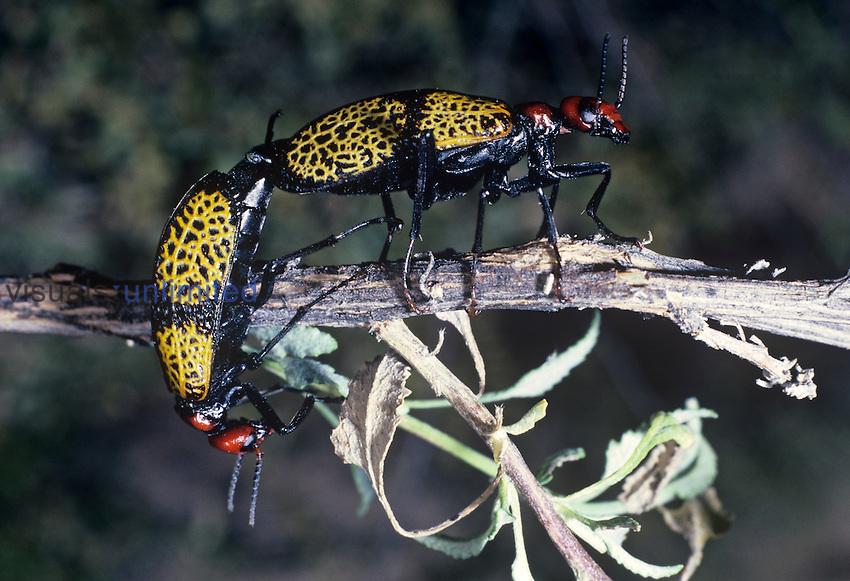Iron Cross Blister Beetles mating ,Tegrodera aloga,, Meloidae, Arizona, USA.