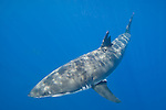 Guadalupe Island, Baja California, Mexico; a Great White Shark (Carcharodon carcharias)