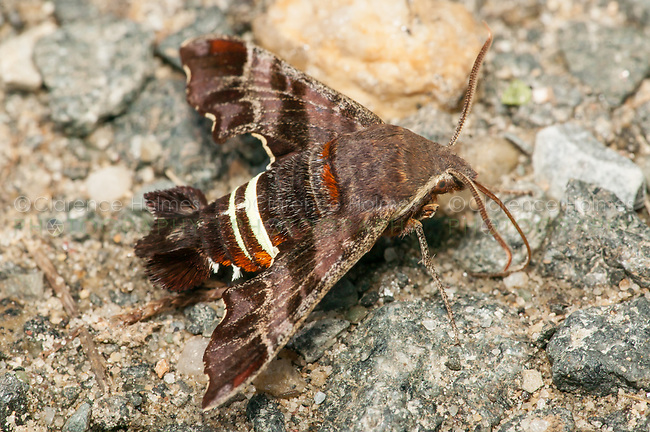 Nessus Sphinx Moth (Amphion floridensis),  Ward Pound Ridge Reservation, Cross River, Westchester County, New York