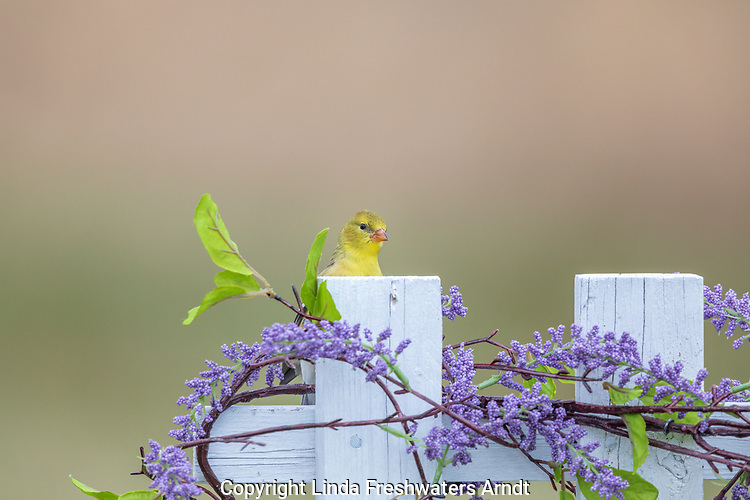 Female American goldfinch perched on a backyard fence.