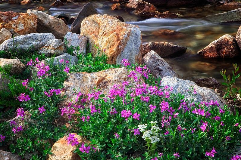 Dwarf fireweed along Lamoille Creek. Ruby Mountains, Nevada