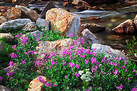 Dwarf fireweed along Lamoille Creek. Ruby Mountains, Nevada