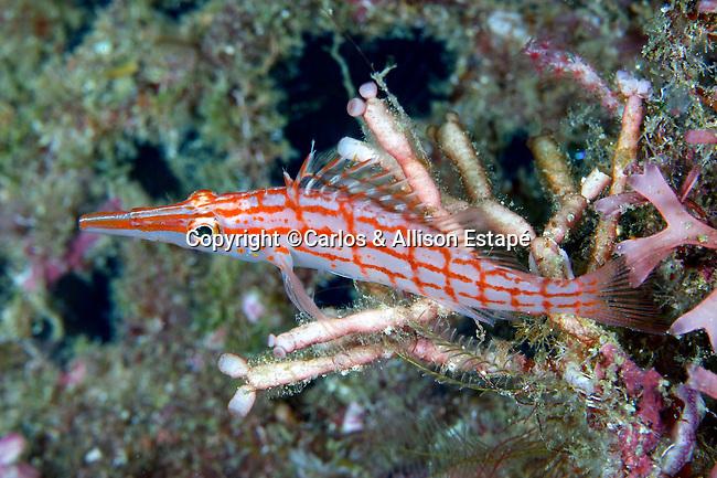 Oxycirrhites typus, Longnose hawkfish, Raja Ampat, Indonesia