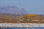 Snow Geese (Chen caerulescens) flock landing in wetland, Bosque Del Apache National Wildlife Refuge, New Mexico, USA