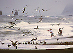 Smelt Run creates Hetic bird activity on an overcast morning on Orick Beach, in northern California
