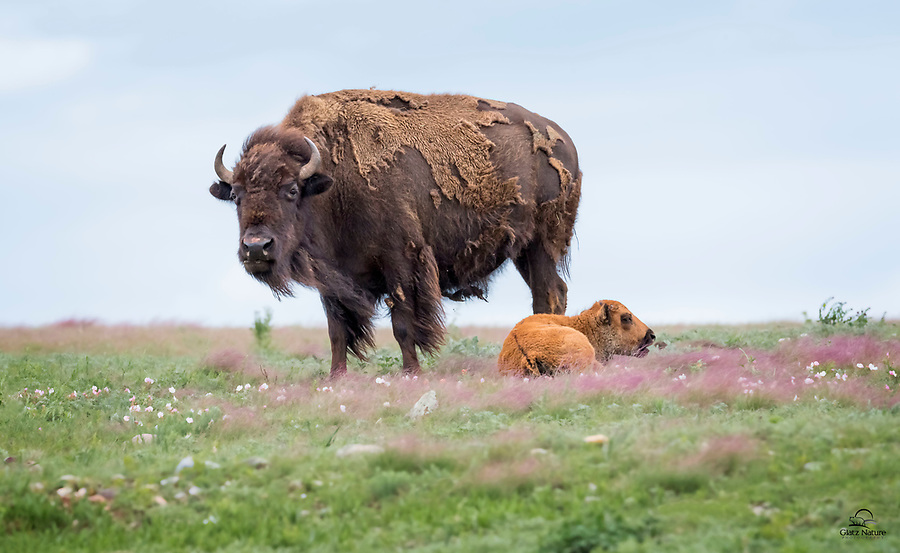 """Newborn Bison (Bison bison) calf, about a month old, feeds on grass while its mother keeps a careful watch.  Bison calves are born with cinnamon-colored fur, and are commonly referred to as """"Red Dogs"""" or """"Cinnamons"""" until they lose the reddish coat and grow the brown fur out.  Wind Cave National Park, South Dakota."""
