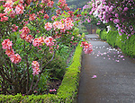 Shore Acres State Park, OR: A flowering deciduous azalea along a pathway in the Simpson Estate Garden in spring