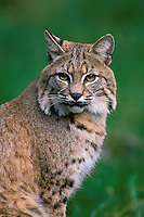 Bobcat portrait.  Pacific Northwest.