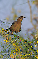 Great-tailed Grackle, Quiscalus mexicanus, female on blooming Retama (Parkinsonia aculeata) , Willacy County, Rio Grande Valley, Texas, USA, May 2004