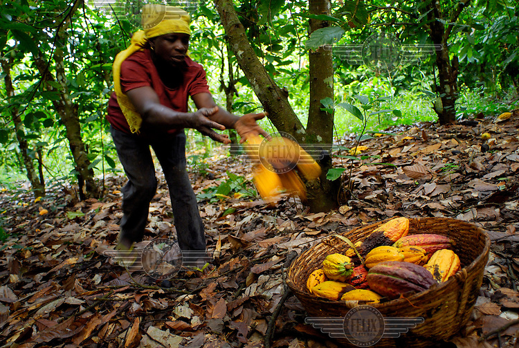 Aminatu Kasim, a Kuapa Kokoo farmer, gathering cocoa pods after they've been cut from the trees. Kuapa Kokoo is a cocoa farmers' co-operative with 45,000 members spread across the forests of Kumasi. The farmers jointly own a 45 percent stake in the company, which is also a major stakeholder in the London-based fair trade company Divine Chocolate Ltd..
