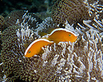Orange skunk anemone fish watch the photographer warily, on guard as darkness settles and the anemone begins to retract for the night.  Taken at the Lembeh Resort house mandarin fish reef, in the Lembeh Strait, North Sulawesi, Indonesia.