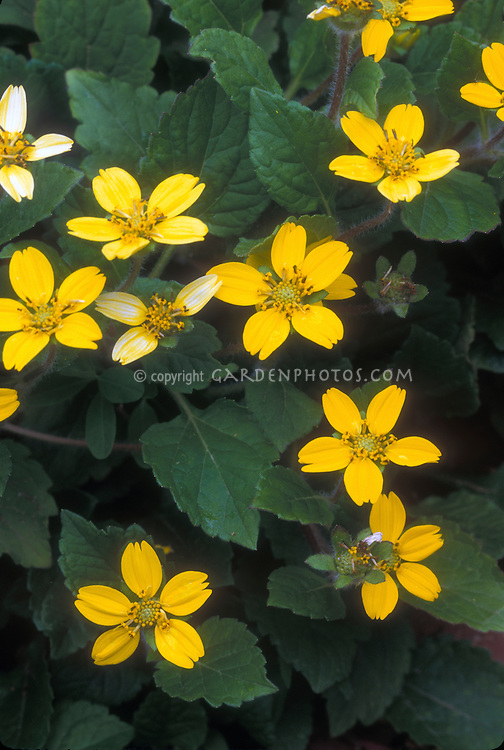 Chrysogonum virginianum groundcover in yellow flower