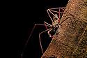 Tailless Whipscorpion  (Heterophrynus elephas) hunting invertebrate prey at night on tree butress root.  Manu Biosphere Reserve, Peru. November.