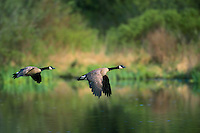 Canada Goose in flight. British Columbia. (Branta canadensis).