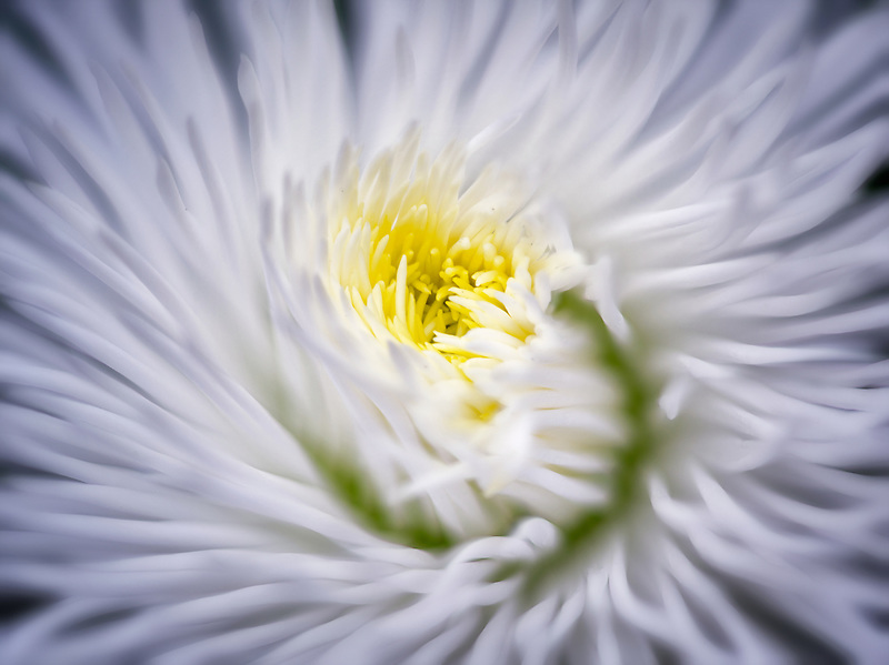Close up of English Daisy. Oregon