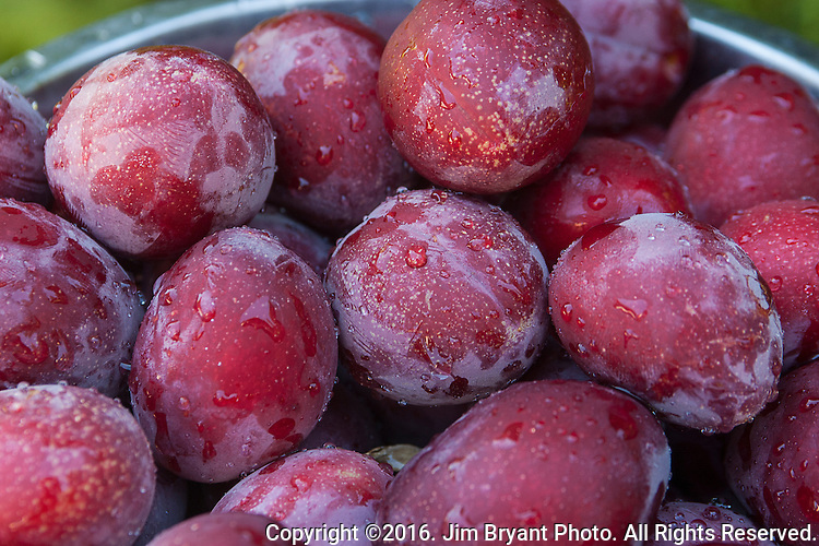 """Plums from backyard  plum trees.  Belonging to the Prunus genus of plants and are relatives of the peach, nectarine and almond. They are all considered """"drupes,"""" fruits that have a hard stone pit surrounding their seeds.    ©2016. Jim Bryant Photo. ALL RIGHTS RESERVED."""