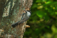 Black-capped Chickadee (Parus atricapillus) at nest cavity.  Found throughout most of North America.
