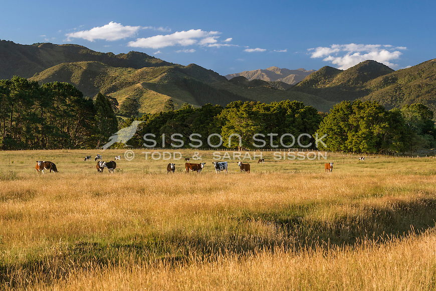 Cattle grazing near Greytown, Wairarapa, New Zealand - stock photo, canvas, fine art print