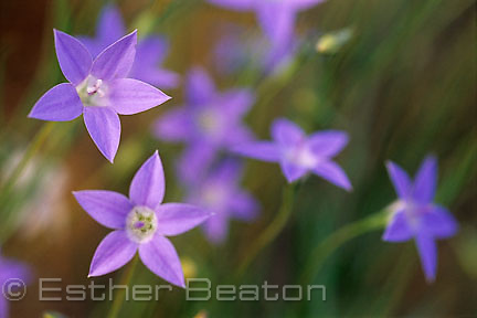 Tufted Bluebell (Wahlenbergia communis). South Cemetery, Gundagai, NSW. Flowers eaten by aborigines.