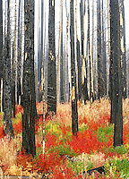 Multicolored vine maple in burned out forest. Deschutes National Forest. Oregon