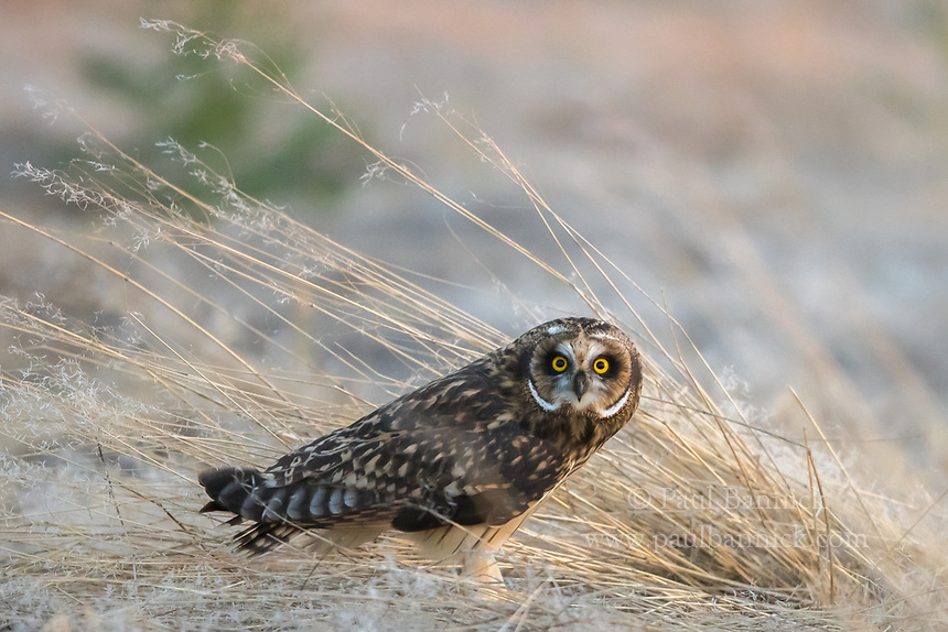 A Juvenile Short-eared Owl emerges from grass to begin its evening hunt.