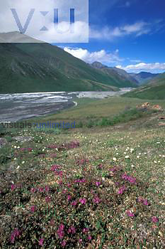 Lapland Rosebay ,Rhododendron lapponicum, and other wildflowers and braided Kongakut River, tundra of northern Brooks Range, Arctic National Wildlife Refuge, Alaska.